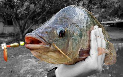 Pescar de Tilápias na artificial? Confira as dicas